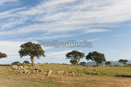 herd of sheep on hillside sardinia