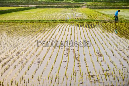rice field close to seoraksan national