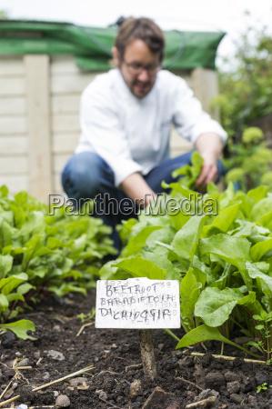 mature man picking fresh vegetables