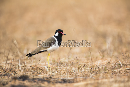 red wattled lapwing vanellus indicus side