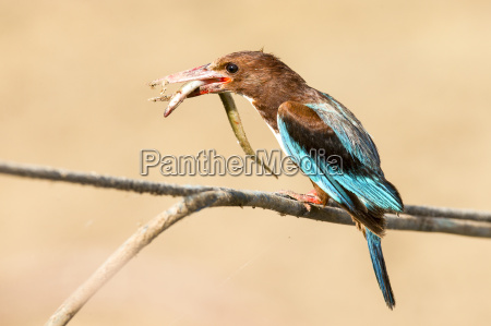 white throated kingfisher halcyon smyrnensis with