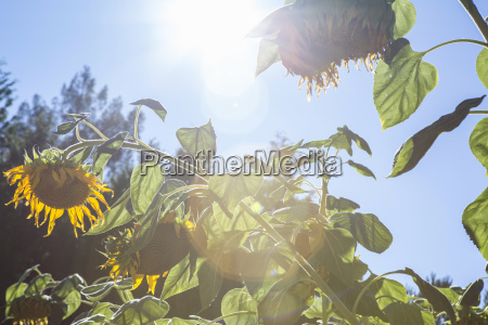 low angle view of sunflowers sebastapol