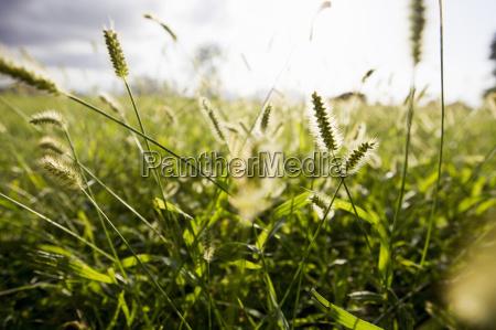 close, up, of, sunlit, long, grasses - 18403648