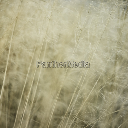 detail of long grasses moving in