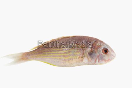 pink perch fish
