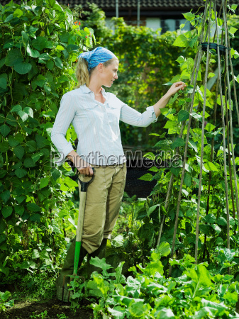 young female picking runner beans