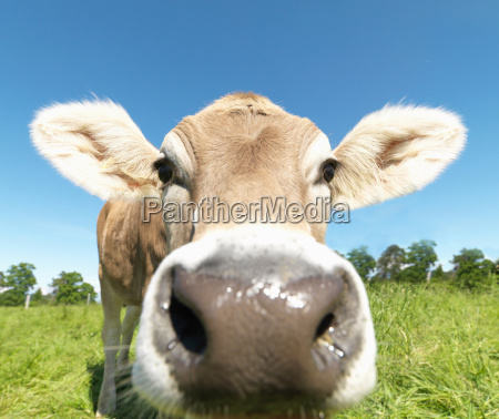 cow in field close up