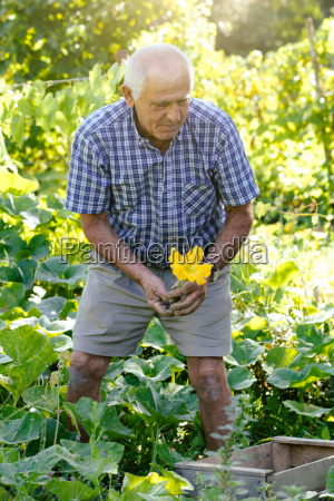senior man picking fresh courgette flowers