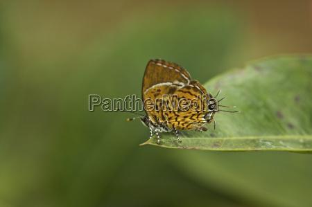 monkey puzzle butterfly rathinda amor kerala