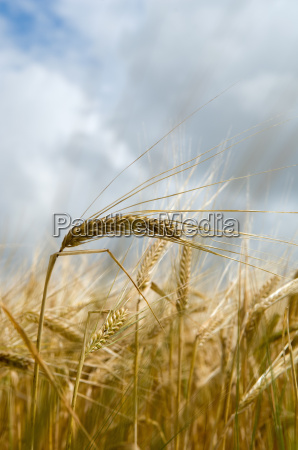 close up of wheat stalks in