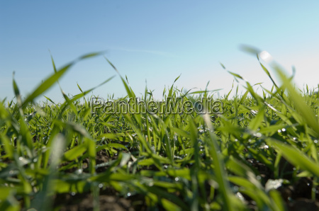 close up of tall grass in