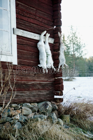dead rabbits hung from nails in