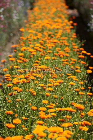row of orange flowers in field