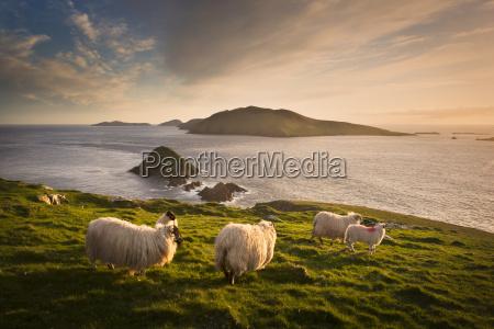 sheep grazing on hillside blasket islands