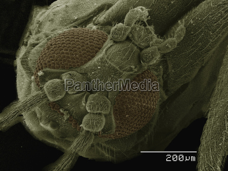 coloured sem of small fly diptera