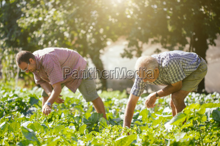 senior man and son picking salad