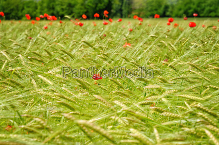 view of wheat field and red