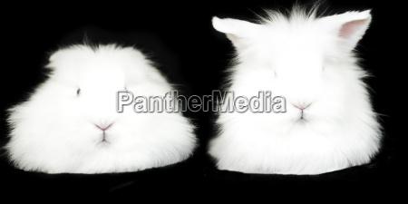 portrait of two white fluffy rabbits