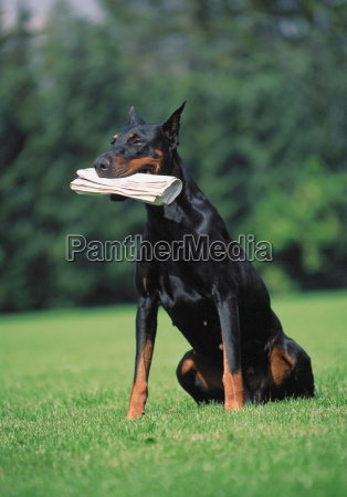 doberman carrying a newspaper in mouth
