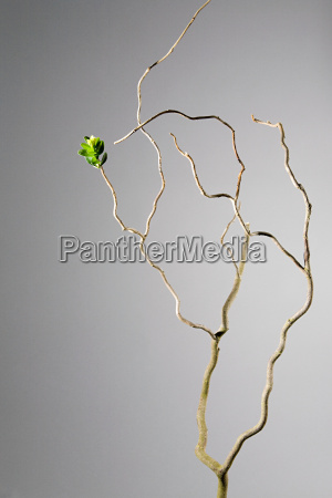 leaves sprouting from dead branch