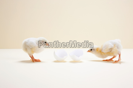 two chicks looking at egg shell