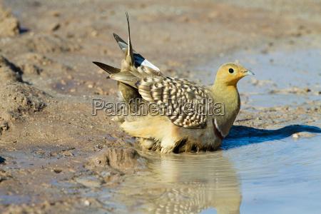 namaqua sandgrouse sitting in waterhole