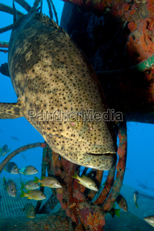 goliath grouper and structure