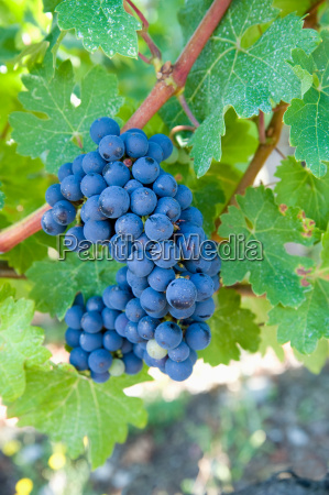 bordeaux grapes gironde france