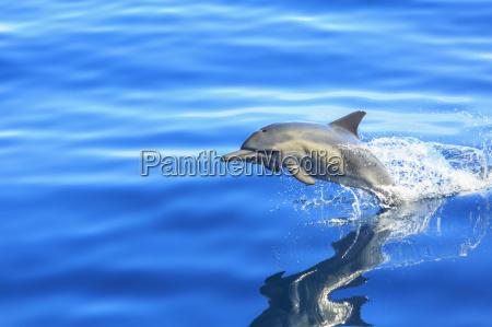 single long beaked common dolphin delphinus