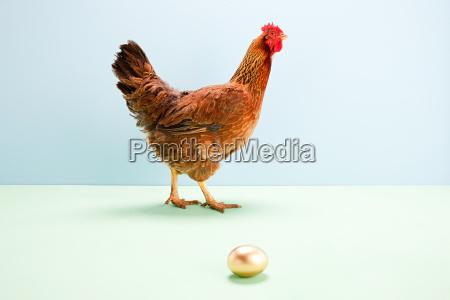 hen walking passed golden egg studio