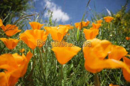 close up of orange california poppies