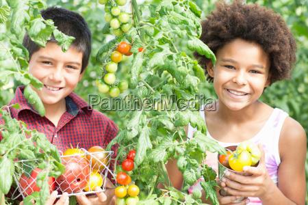 children picking fresh tomatoes
