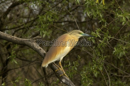squacco heron ardeola ralloides in summer