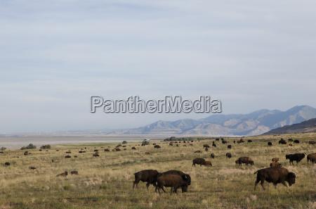 herd of american buffalo grazing in
