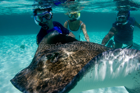 snorkelers with stingray