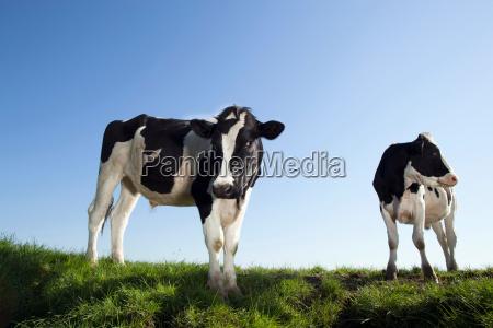 cows against blue sky