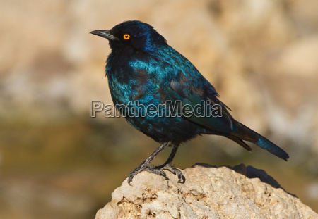 cape glossy starling kgalagadi transfrontier park