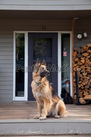 german shepherd on house porch