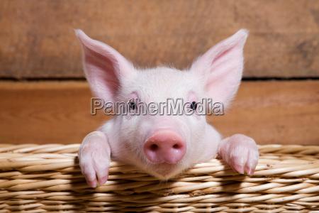 piglet in basket close up