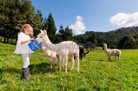 girl feeding alpacas in field