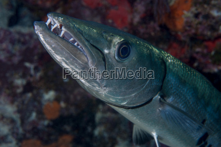 toothy grin of a barracuda