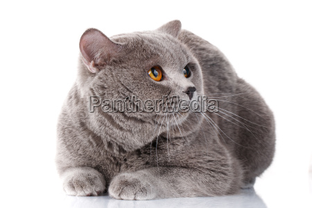 evil gray british shorthair cat with