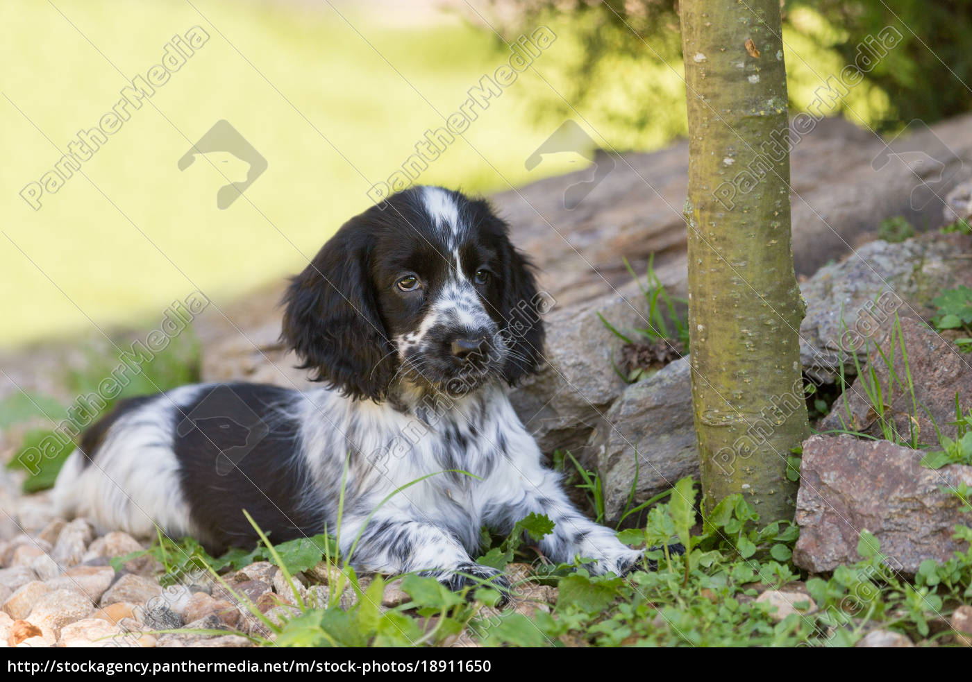 English Cocker Spaniel Puppy Stock Image 18911650 Panthermedia Stock Agency