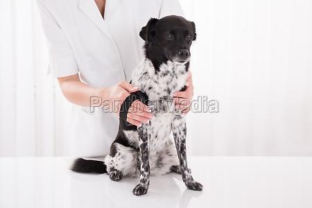 vet brushing dogs hair