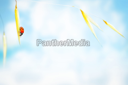 little ladybug on the wheat
