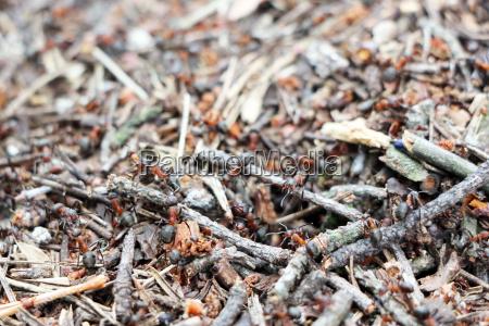 anthill ants burrow