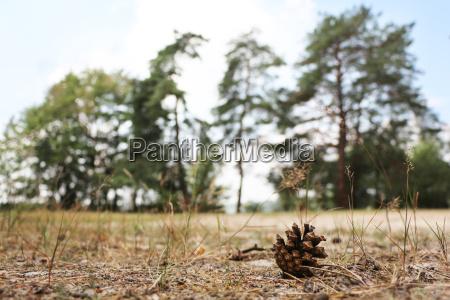 seed sand pine
