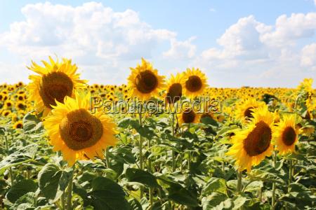 sunflowers sun sky