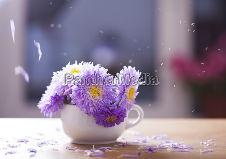 beautiful purple aster flowers and falling