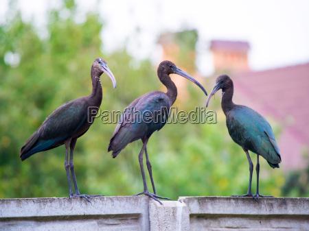 the plegadis falcinellus bird ibis